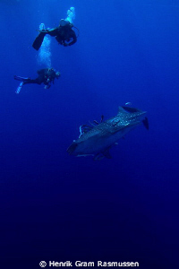 The mighty Whaleshark - watched by 2 divers as it dives i... by Henrik Gram Rasmussen