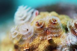 Christmas Tree worms. by Jacques Miller