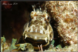 Cute Blenny. by Allen Lee
