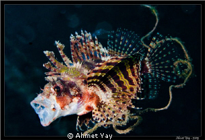 Lion fish by Ahmet Yay