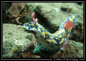 Difficult path :-) (Hypselodoris infucata) by Raoul Caprez