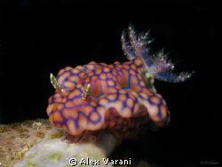 Ceratosona sinuatum on Similan Islands. Shot with CANON G9 by Alex Varani
