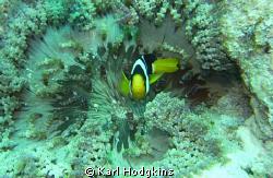 Anenomae Fish stands guard by Karl Hodgkins