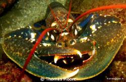 Lobster, taken at Slyne Head Co. Galway. by Thomas Moore