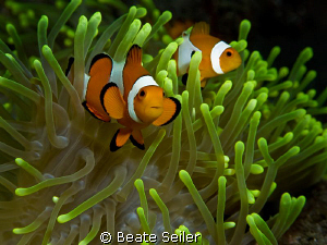 Clowfish & anemone  , taken with Canon G10 by Beate Seiler