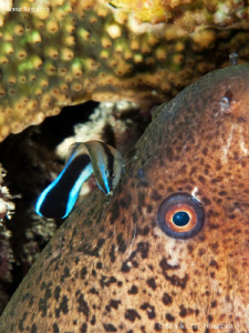 Moray eel  with common cleanerfish. by Bea & Stef Primatesta