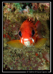 Face to face (Sargocentron hastatus) by Raoul Caprez