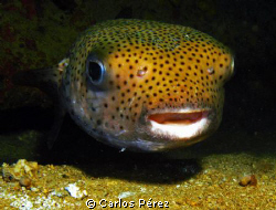 Curious Puffer Nigth Dive @ St. Thomas Virgin Island by Carlos Pérez