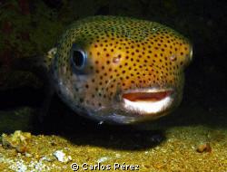 Curious Puffer Nigth Dive @ St. Thomas Virgin Island by Carlos Pérez