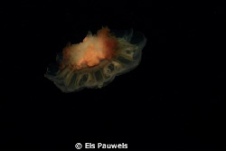 Red jellyfish by Els Pauwels