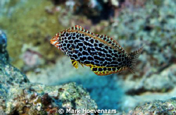 Leopard Wrasse by Mark Hoevenaars