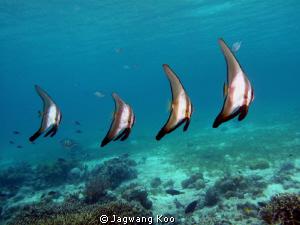 BatFishes by Jagwang Koo