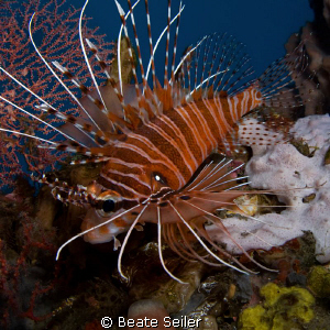 Lionfish , taken with Canon G10 by Beate Seiler