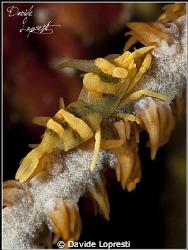 Gamebro corallo frusta by Davide Lopresti