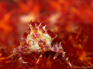 """It's like hell in my World"" --- Soft Coral Crab (Hoploph... by Brian Mayes"