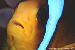 clownfish by Marco Maccarelli