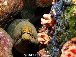 Moray eel near the Wolf isl. Galapagos by Mikhail Smirnov