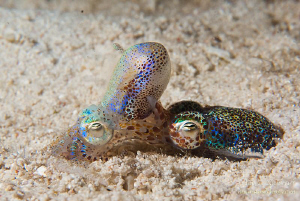 two bobtail squids having fun on a night dive in Malapascua by Mona Dienhart