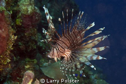 Roatan illegal invader by Larry Polster