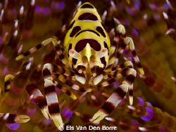 Coleman Shrimp by Els Van Den Borre