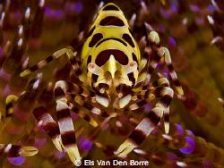 Coleman Shrimp by Els Van Den Borre