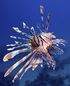 Juvenile Lion-Fish. It took me ages to get this shot....h... by Rico Besserdich