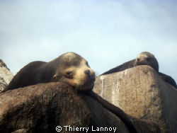 Male Sea lion in Cabo Pulmo Marine Park, Baja California ... by Thierry Lannoy