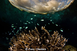 Damsels  dance,  Sunset on Staghorn by Tony Cherbas