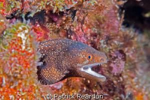 White Mouth Moray, Maui, Hawaii. by Patrick Reardon