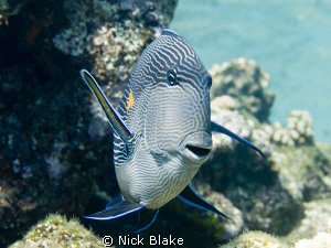 An inquisitive Surgeonfish photographed in the Red Sea N... by Nick Blake