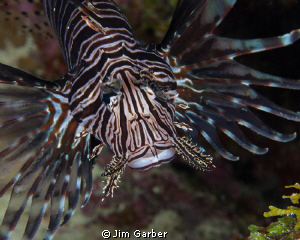 Lionfish closeup - Bonaire by Jim Garber