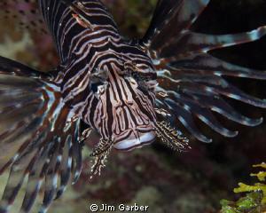 Lionfish closeup - Bonaire by Jim Garber