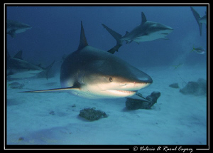 A great dive with sharks (Carcharhinus perezi).