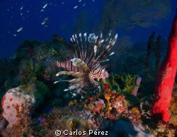 Lion fish View @ Rincon Beach Puerto Rico by Carlos Pérez