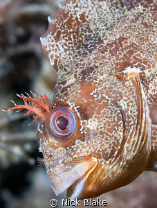 Tompot Blenny photographed on The Mulberries Fujifilm S5... by Nick Blake