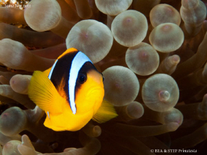 Clownfish. by Bea & Stef Primatesta