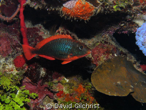 Redband Parrotfish (Initial Phase) on reef off Roatan, Ho... by David Gilchrist
