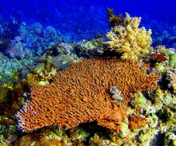Table Coral at Saganeb South, Port Sudan. 30 feet depth, ... by Stein A. Mollerhaug