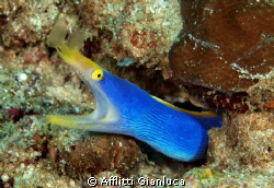 blue ribbon eel by Afflitti Gianluca
