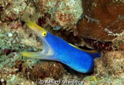 blue ribbon eel by Afflitti Gianluca