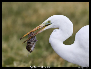 This is waterbird. It name is little egret. It usually ea... by Ahmet Yay