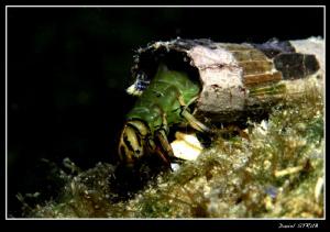 Phryganea grandis - this weekends dive in Vaumarcus :-D by Daniel Strub