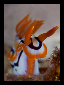 Hypselodoris Regina by Charles Wright