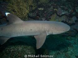 whitetip reef shark (Triaenodon obesus) by Mikhail Smirnov
