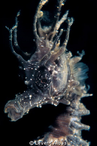 SeaHorse by Levent Albas