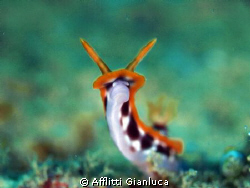 smile of nudibranchia by Afflitti Gianluca