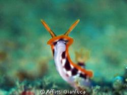 smile of nudibranchia by Afflitti Gianluca