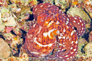 This octopus actually came out of hiding on the reef and ... by Patrick Reardon