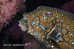 Box fish with Canon 50D + 100 Macro by Marco Maccarelli