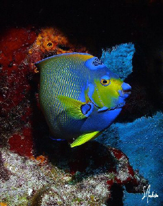 This Queen Angelfish shows just why she is the Queen. Thi... by Steven Anderson